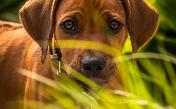 Hundeportrait - Piri